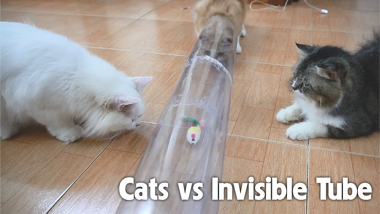 Do Cats Dare To Go Through An Invisible Tube?