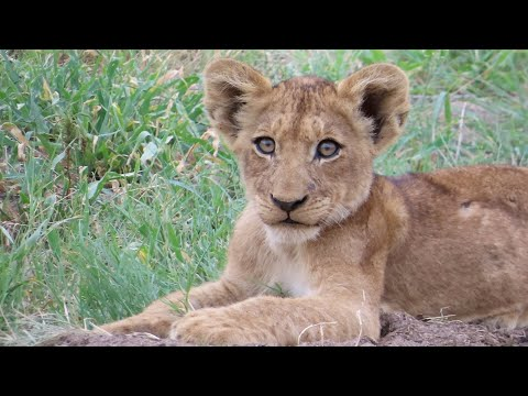 Lion Cubs Lounging In The South African Sun