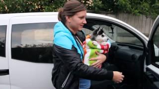 Встречаем маленькую хаски Кейси | Meeting small husky Casey