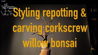 Styling Carving And Repotting Four Corkscrew Willow Bonsai