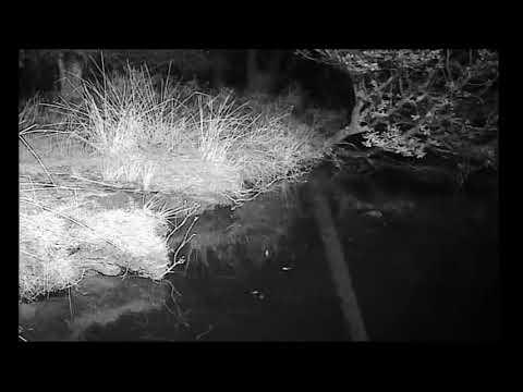 Mink at Loch