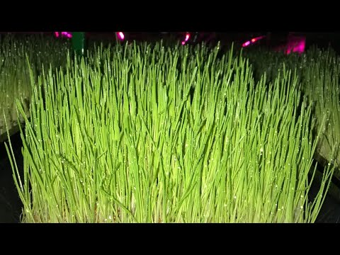 Maximise Hydroponic Fodder Production With 4 Day Growth