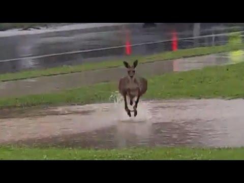 Wet kangaroo charges at man filming flooding in Brisbane