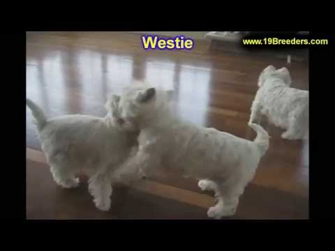 West Highland White Terrier, Westie, Puppies, Dogs, For Sale, In Albuquerque, New Mexico, NM
