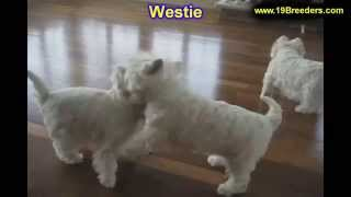 West Highland Terrier, Puppies,for,sale, In,orlando Florida, Fl, Deltona,melbourne,palm Coast,