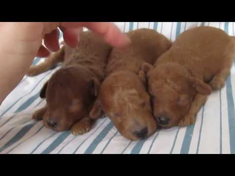 Red, Small Miniature Poodle Puppies