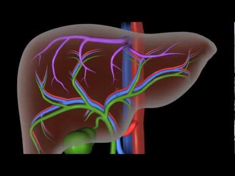 Liver Structure and the Flow of Blood and Bile (Master's Project)