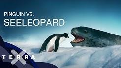 Eselspinguin vs. Seeleopard - auf der Flucht vor dem Jäger | Terra X