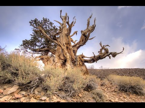 A Walk Along Discovery Trail At The Ancient Bristlecone