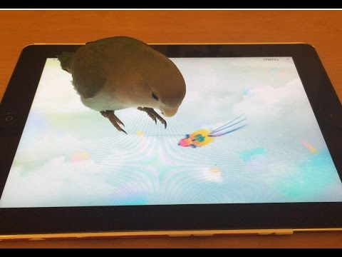My Lovebird Playing Game on iPad