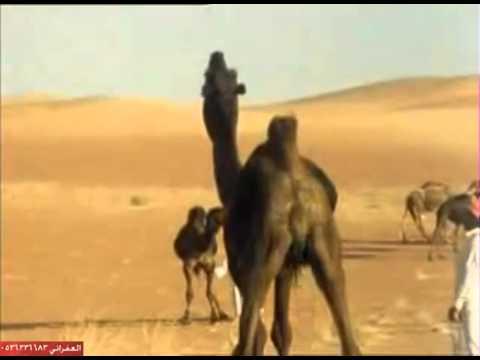 الابل في صحراء الربع الخالي مع قبيلة ال رشيد يام  الكرام