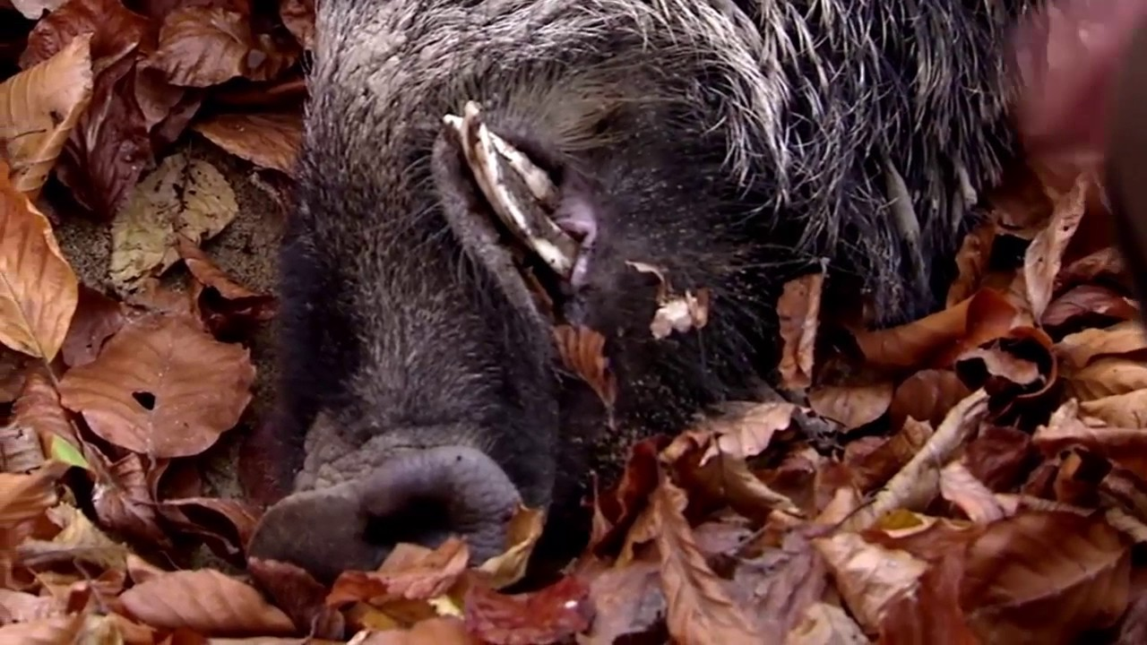 Driven wild boar hunting Giant pigs rolling dead down the ...