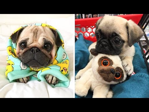 Funniest and Cutest Pug Dog Videos Compilation  – Try Not To Laugh Watching Funny Pug Videos