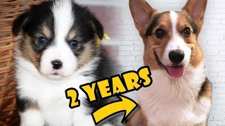 CORGI PUPPY Vs ADULT DOG COMPARISON - Life After College: Ep. 474 thumbnail