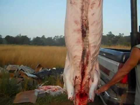 How to slaughter a pig Part 4: Evisceration & Loading of a hog