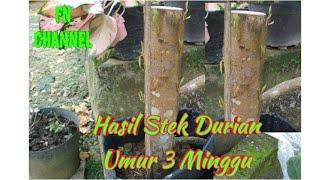 Video Hasil Stek Durian Batang Besar Umur 3 Minggu Udah Banyak Tunasnya download MP3, 3GP, MP4, WEBM, AVI, FLV November 2018