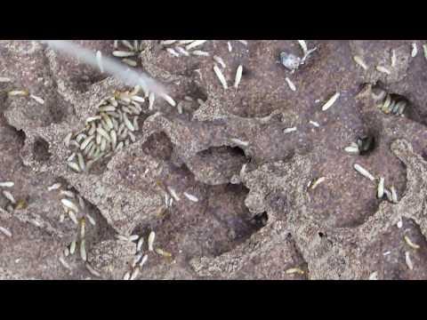 Termites nest - Τερμίτες - Cyprus