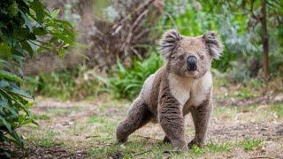 Koala population threatened after bushfires burn across their habitats