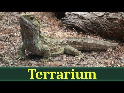 видео: Гаттерия, или туатара (лат. sphenodon punctatus)