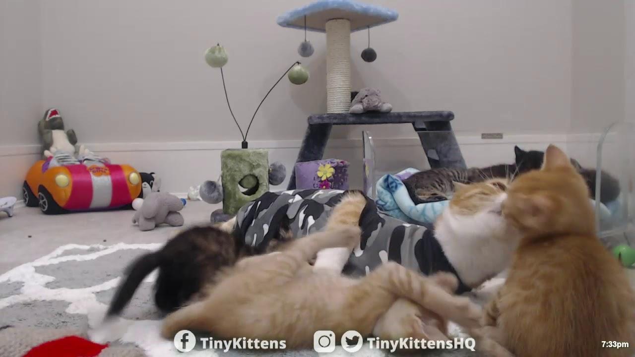Cat moms survive ferocious kitten attack - TinyKittens.com