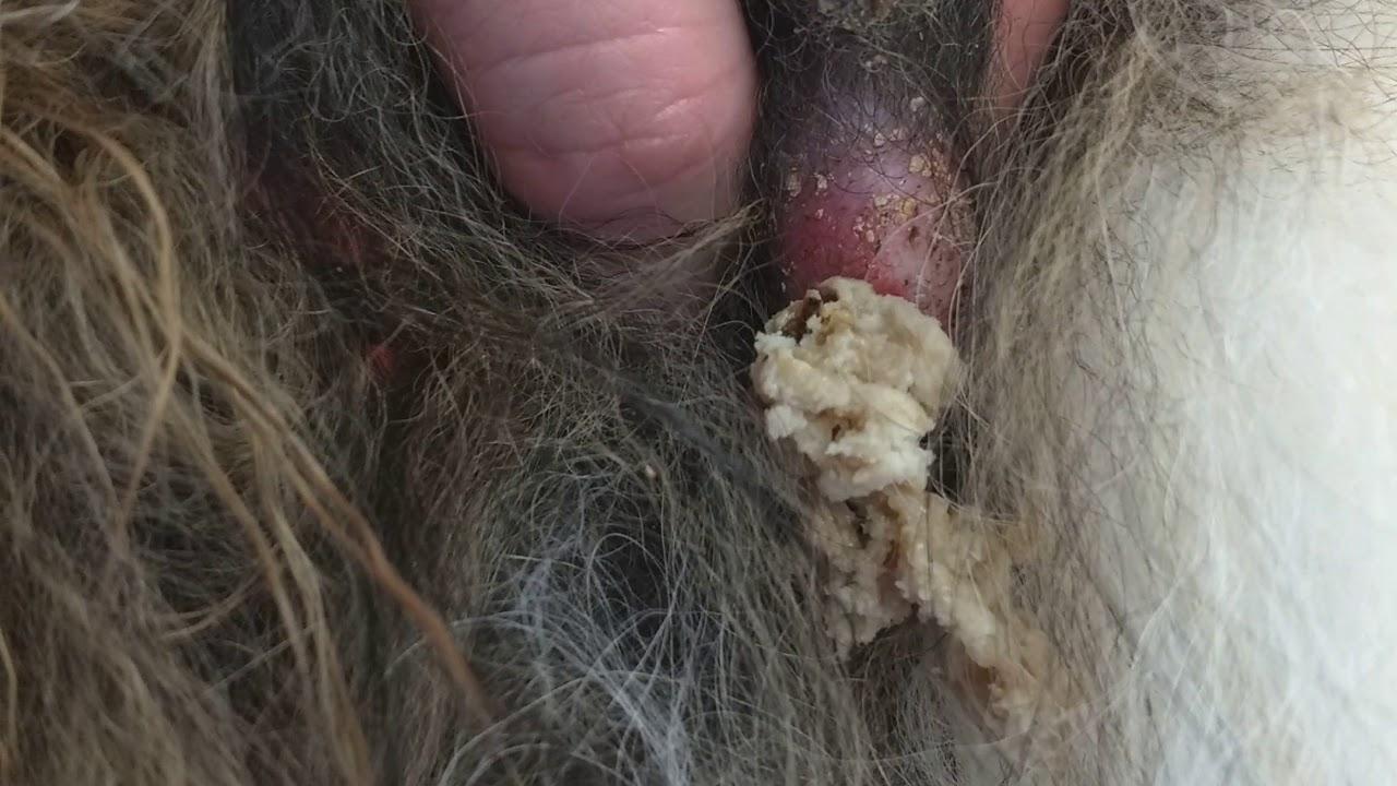 Dog cyst popped #2