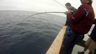 Yellowtail fishing with Abu Garcia Revo Toro with soft plastic swimbait!
