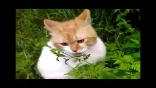 Знаменитые кошачьи певцы. Забытый кошачий язык)))