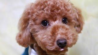 日本人が好きな愛犬の種類を人気NO1から人気NO10まで 紹介します。 NO1...