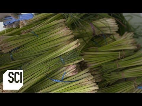 lemongrass-oil-|-how-it's-made