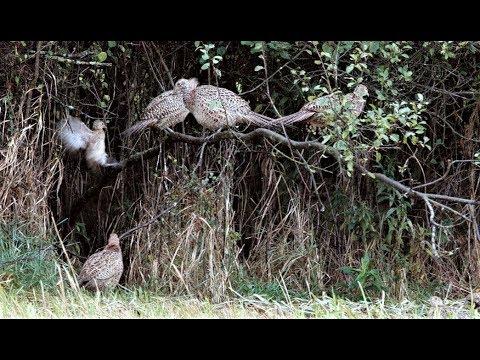 Junge Fasanen im September/ Молодые фазаны в сентябре/ Young pheasants in September