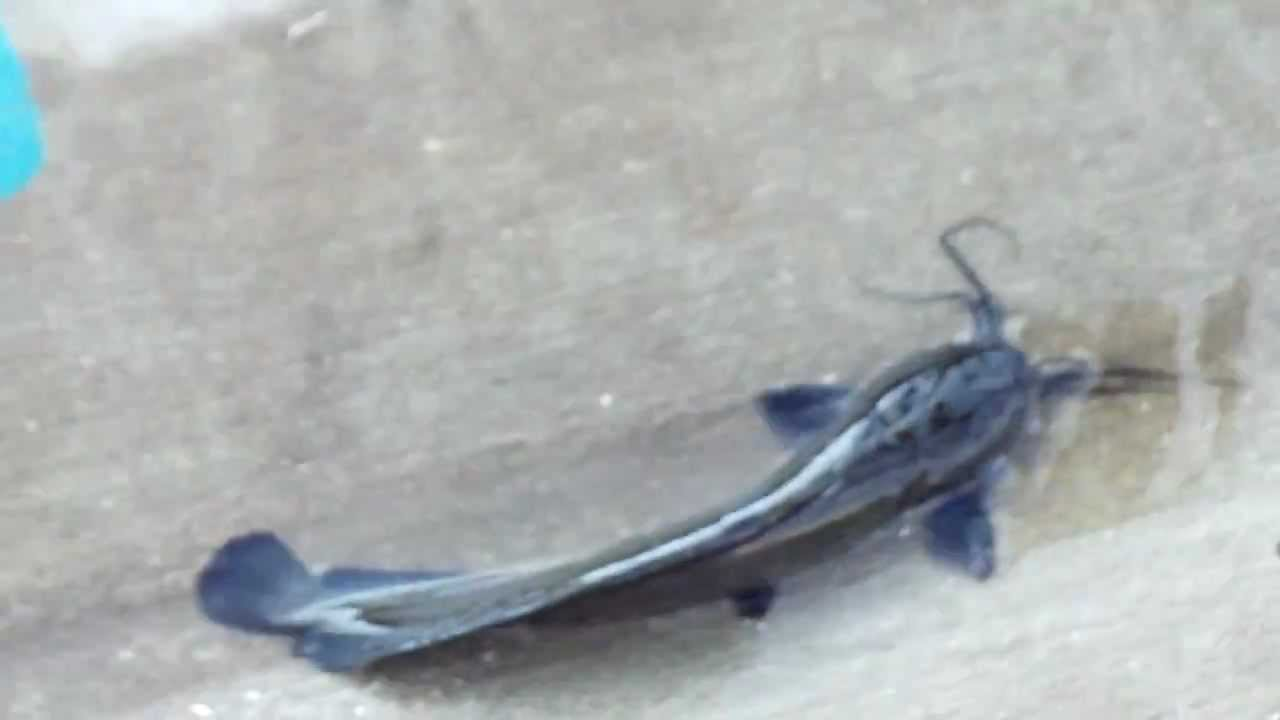 Walking catfish, June 2012, V4 - YouTube - photo#20