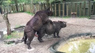 Rhinos at Tampa's Lowry Park Zoo 05.10.17