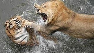 動物 野生 トップ 10 ライオン VS 虎 の 攻撃 HD 動物 野生 トップ 10 ...