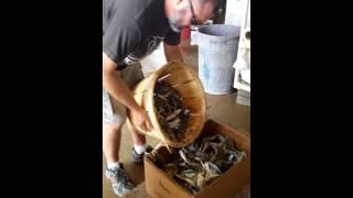 Blue Crab Delaware#usa #รสรินพามาดูปูอเมริกา
