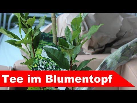 🌷 Tee Im Topf 🌷 - Camellia Sinensis Im Eigenen Garten Anpflanzen - Großstadtgärtnern