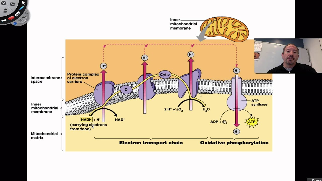 electron transport chain diagram for dummies apc smart ups sc 1500 battery wiring the youtube