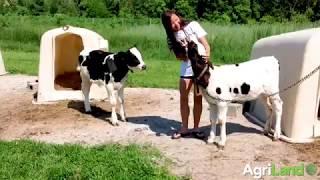 阿格里兰参观了沃尔顿的一个家庭奶牛场,betway客户端肯塔基州