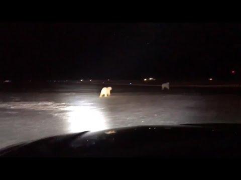 Polar bears spotted at Alaska airport