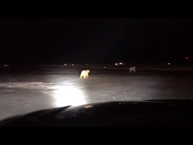 polar-bears-spotted-at-alaska-airport