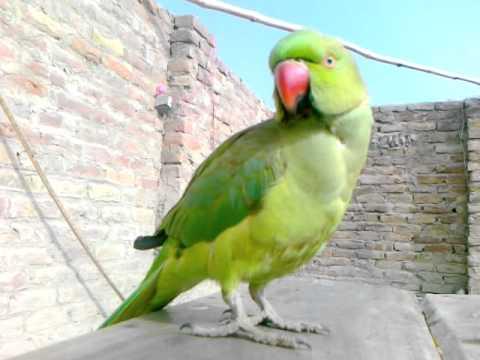 sindhi parrot -{naveeda007}.mp4