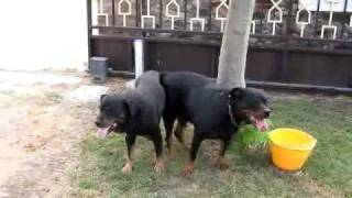 Repeat youtube video Accoppiamento tra rottweilers