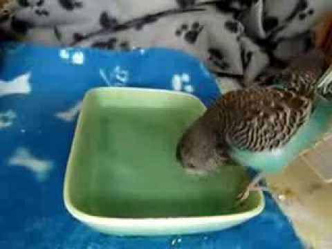 baby budgies in bath tub youtube. Black Bedroom Furniture Sets. Home Design Ideas