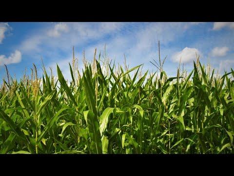 5 Common Myths Around GMO: Debunked!