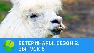 Ветеринары. Альпака, рысак, пожилой пёс, енот и чернобурка. 2 сезон | Живая Планета