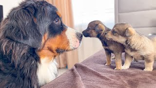 Bernese Mountain Dog Meets Puppies for the First Time