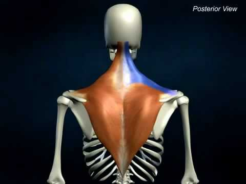 Trapezius - AnatomyOnlineCourse - YouTube