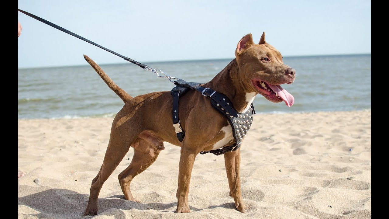 studded design leather pitbull harness for medium amp large