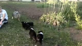 Щенки австралийской овчарки ( аусси ) aussie
