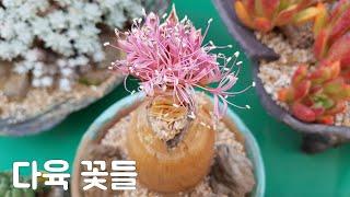 #다육 희귀한 다육#부몬리스티차꽃과 복을 부르는 #일본…