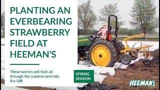 Planting Everbearing Strawberries at Heeman